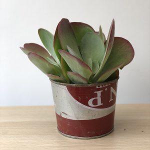 Kalanchoe Thyrsiflora Paddle houseplant