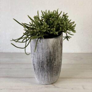 Rhipsalis Horrida (Mistletoe Cactusis)