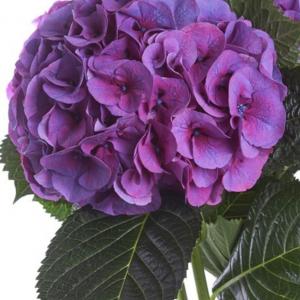 Flower Bouquet Hydrangea Purple